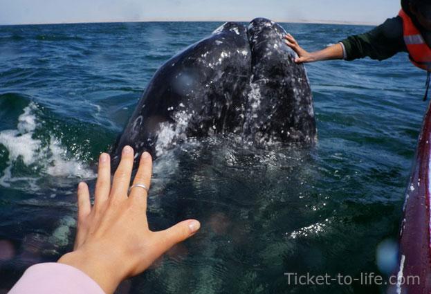 """""""Может быть потрогать кита вам не удастся, но увидеть, - точно увидите"""", - сказал извиняясь гид.. Мексика"""